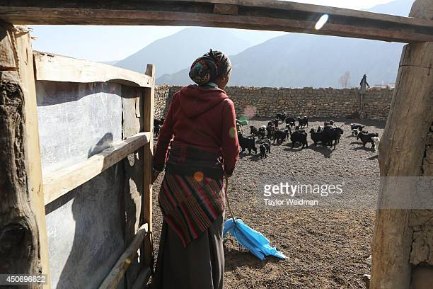 Loba woman herds baby goats into a pen in Dhe village Dhe village has been facing an acute water shortage for more than a decade with fully half of...