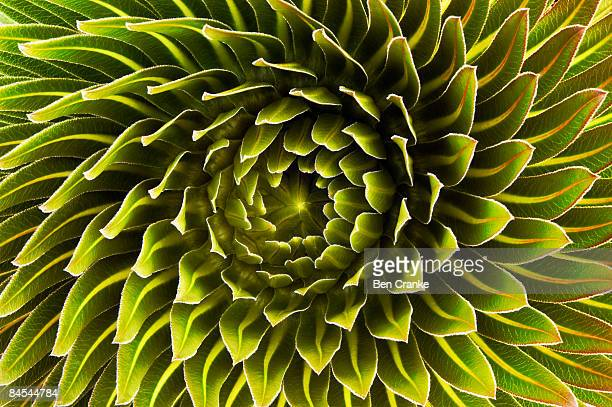 lobelia deckenii, mount kilimanjaro, tanzania - concentric stock pictures, royalty-free photos & images