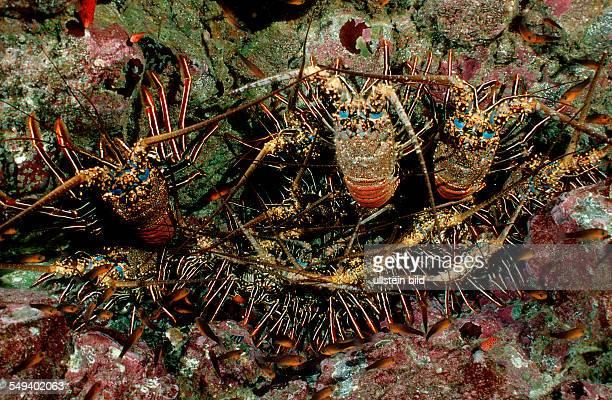 lobster cave with lobster Panulirus regius Costa Rica Pacific Ocean Cocos Island Latin america
