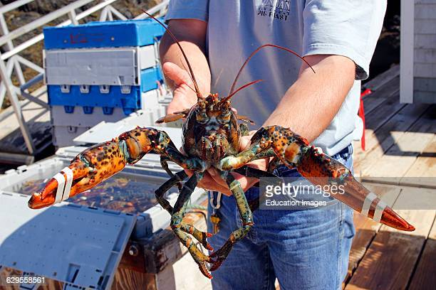 Lobster fisherman holds his catch at harbor Vinalhaven Island Maine New England USA