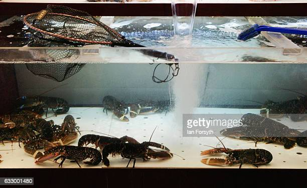 Lobster is displayed in a tank in a Chinese restaurant during the Chinese New Year celebrations to mark The Year of the Rooster on January 29 2017 in...