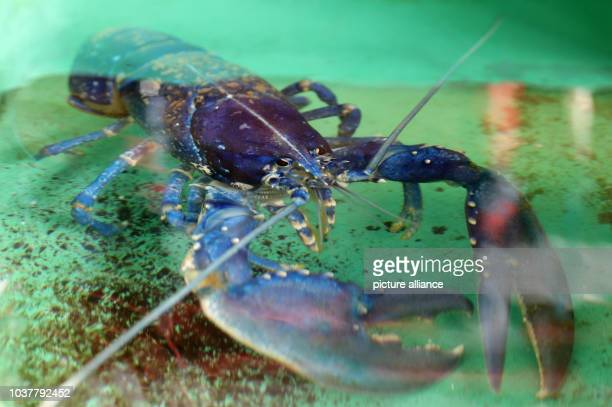 A lobster is seen at the breeding station at the Biological Institute Helgoland of the Alfred Wegener Institute on Helgoland island Germany 28 August...