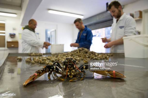 A lobster sits on the table while fishmongers remove the Whelks from the shells after boiling before they are exported to Asia Folkestone Trawlers...