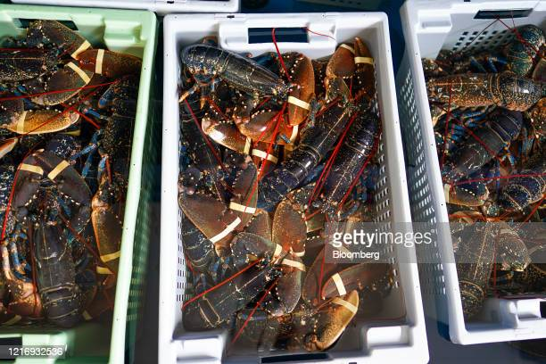 Lobster sits packed ready for distribution on the harbour in Scarborough UK on Tuesday June 2 2020 The threat of a nodeal Brexit is back and with it...