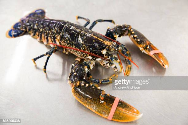 A lobster with elastic bands on its claws sits on the table Folkestone Trawlers process manage and market all fresh fish that is landed into...