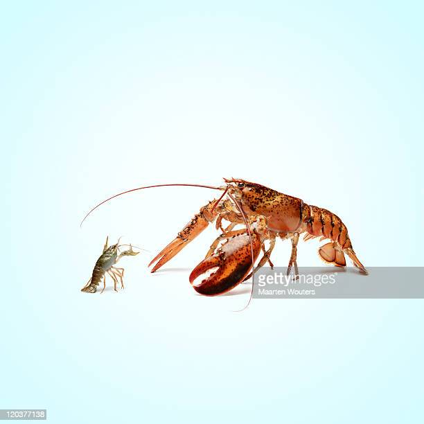 lobstermayhem fight 02 - debate stock pictures, royalty-free photos & images