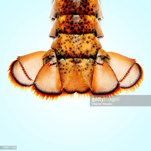 lobstermayhem tail