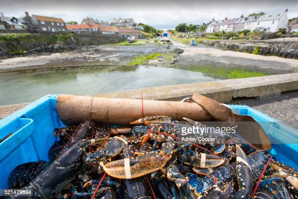 Lobsters caught off Craster in Northumberland, UK.