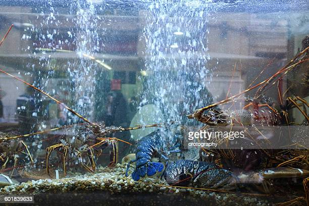 Lobsters in a tank