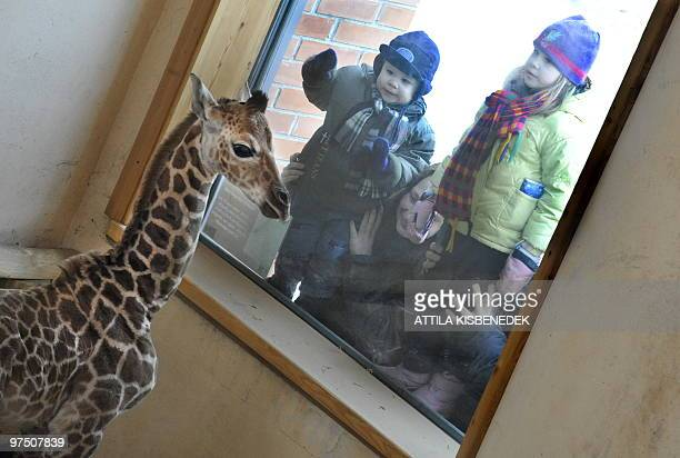 Local children look through the window to see a newborn giraffe in the giraffe house of the Budapest Zoo and Botanic Garden in the Hungarian capital...