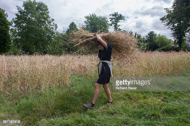Local community volunteers help harvest the heritage wheat crop from the public Ruskin Park on 8th August in the south London borough of Lambeth UK...
