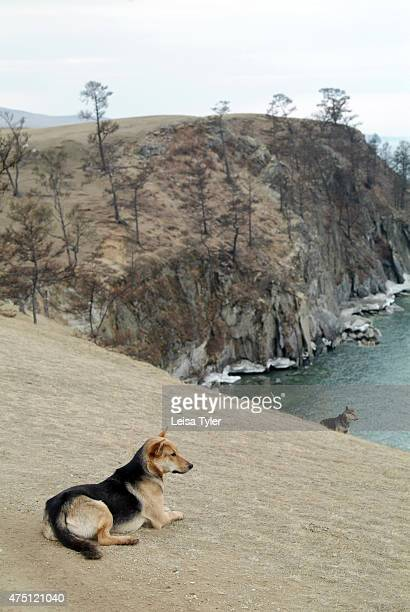 Local dogs on Olkhon island the largest island in Lake Baikal Known as the soul of Siberia Lake Baikal was formed after a unique geographical rift 25...