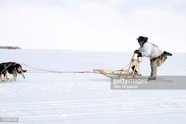 A local Eskimo musher rides in the Shishmaref annual spring race Continuing a century old tradition a dozen dog sled teams are mainainted in the...