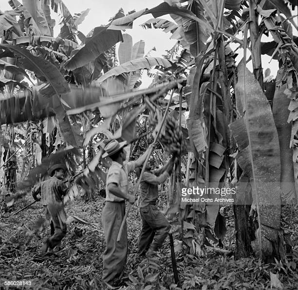 Local farm workers pick bananas from the trees on a farm in Bay Islands, Honduras.