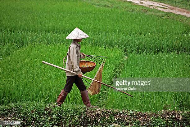 Local farmer goes fishing frogs in a paddy field near Hanoi. Vietnam is one of the largest producers of rice in the world. The major buyers of...
