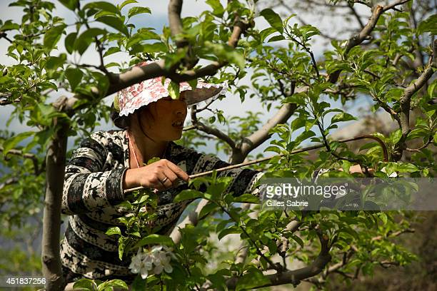 A local farmer is pollinating by hand apple trees The farmers from this village have been using handpollination for the past twenty years The heavy...