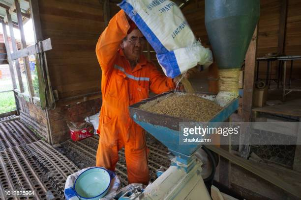 Local farmer preparing a traditional Bario paddy after harvest season at Bario, Sarawak, Malaysia.