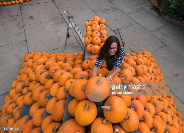 Local farmer Susanne Schumacher stacks pumpkins into a 35 metre Lampertheim Germany 5 September 2017 Around 500 squashes were used to construct the...