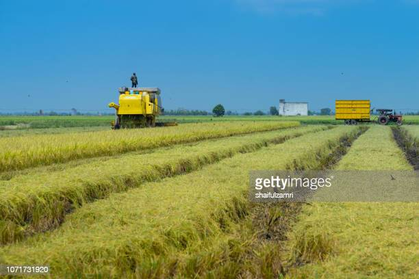 local farmer uses machine to harvest rice on paddy field. sabak bernam is one of the major rice supplier in malaysia. - shaifulzamri foto e immagini stock