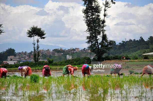 Local farmer's plants Rice Samplings during the celebration of National Paddy Day quotASHAD 15quot Rice Plantation at Chapagaun Patan Nepal on June...