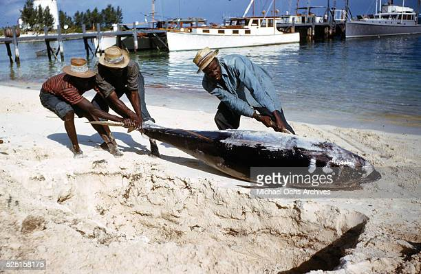 Local fisherman drag a huge fish on a beach of Cat Cays Island Bahamas Photo by Ivan Dmitri/Michael Ochs Archives/Getty Images