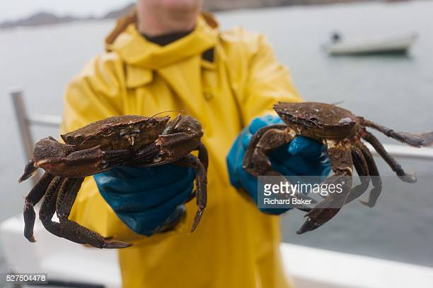 Local fisherman Neil Cameron shows creelcaught velvet and Green Crab caught between Fionnphort and Iona Isle of Mull Scotland The contents of 500...