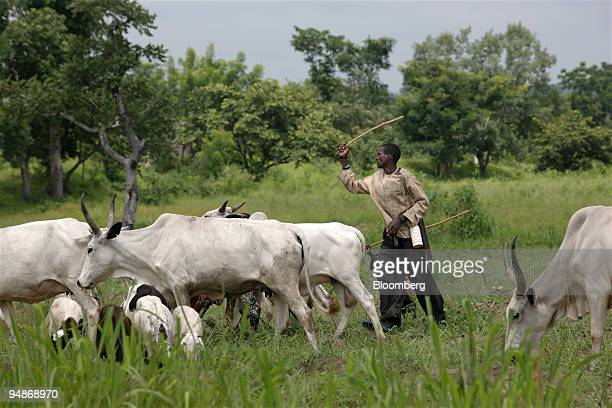 A local Fulani herdsman grazes his cows near Graham Hatty's cassava farm in Shonga Nigeria on Tuesday July 29 2008 White farmers fleeing Robert...