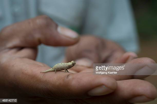 Local guide holding the minute leaf chameleon which is one of the smallest reptiles in the world found in the rainforest of Montagne d'Ambre National...