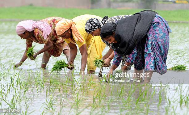 Local labourers were seen planting paddy at village Bakhsiwala on June 14 2016 near Patiala India Though the Punjab government has set the target to...