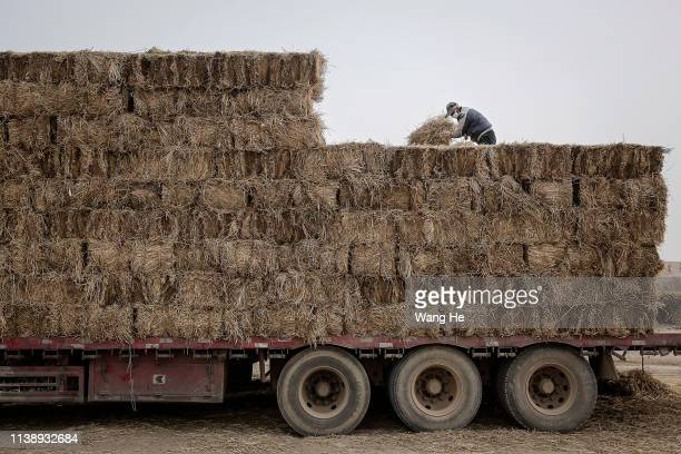 A local man carries straw off a truck in the desert at Mingqin county on March 27th 2019 in Wuwei Gansu Province China In order to prevent...