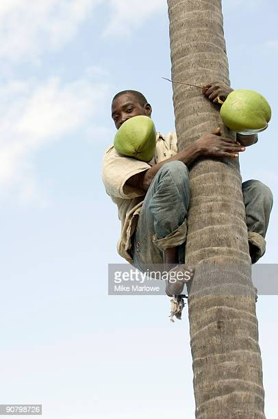 Local man collecting coconuts in Maputo, Mozambique.
