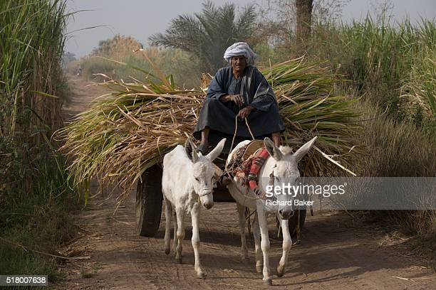 A local man with his mule and cart leaves the fields laden with sugarcane near Qurna a village on the West Bank of Luxor Nile Valley Egypt In Egypt...