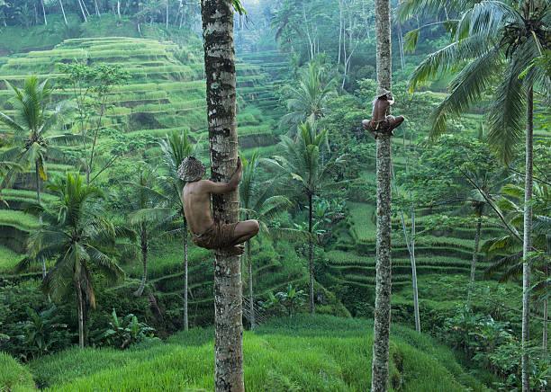 local men climbing coconut trees