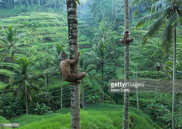 local men climbing coconut trees
