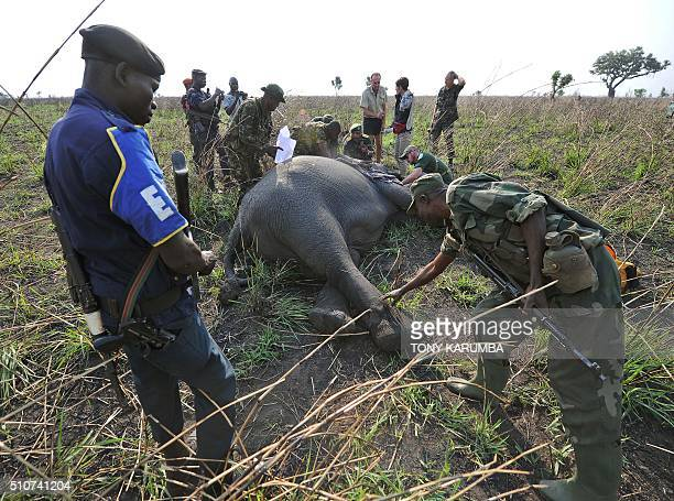 A local military officer bends over to touch a sedated elephant as his local police counterpart and other government officials visiting the Garamba...