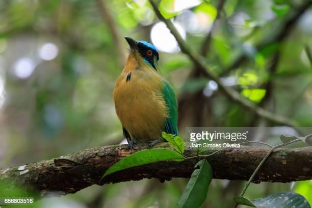 Local: `Parque Municipal de Maceió, Maceió city, Alagoas state, Brazil. Portuguese name: Udu-de-coroa-azul. English name: Amazoninan motmot.  Scientific name: Momotus momota.
