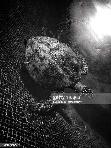 local people raised sea turtle - lynnhsin stock pictures, royalty-free photos & images