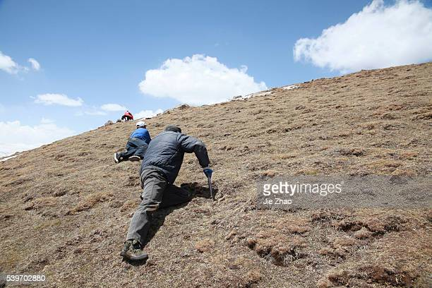 A local resident searches for caterpillar fungus also known as Cordyceps sinensis a traditional Tibetan medicine now popular in China and across the...
