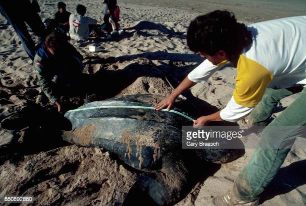 Local scout measures a leatherback turtle laying her eggs on the beach of Costa Rica's Tamarindo Bay. The scouts assist researchers in educating the...