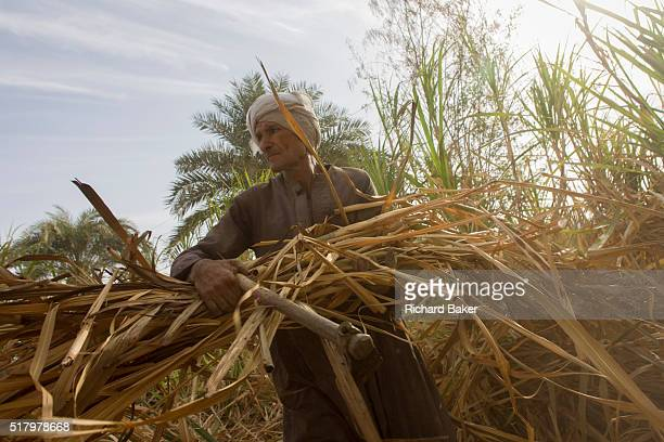 A local sugarcane cutter works in latemorning heat and dust near Qurna a village on the West Bank of Luxor Nile Valley Egypt In Egypt sugar cane...