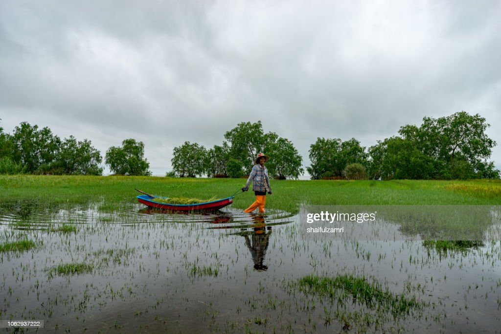Local Thai farmer going home after harvest paddy in traditional way which using a canoe to carry paddy at lake Thale Noi. : Stock Photo