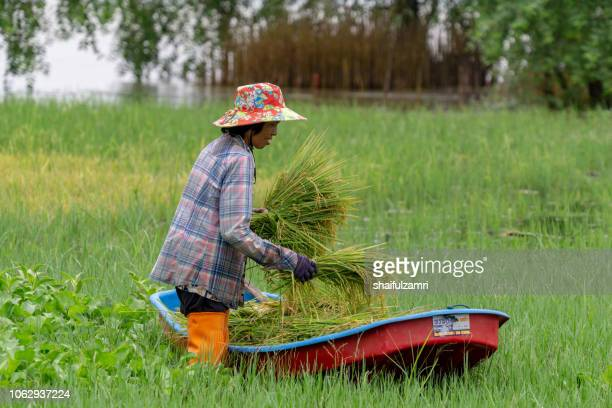 Local Thai farmer going home after harvest paddy in traditional way which using a canoe to carry paddy at lake Thale Noi.