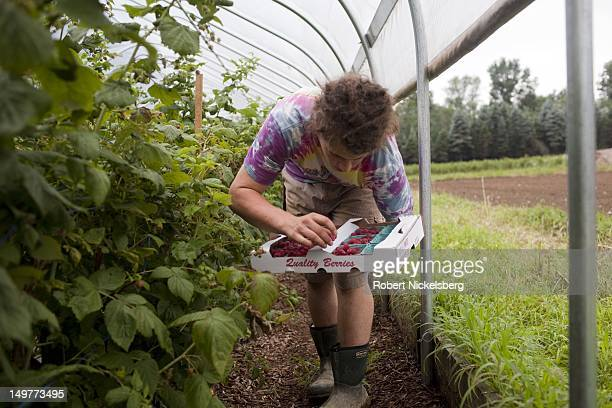 A local Vermont worker picks organically grown raspberries at the Clear Brook Farm July 24 2012 in Shaftsbury Vermont Clear Brook Farm was started in...
