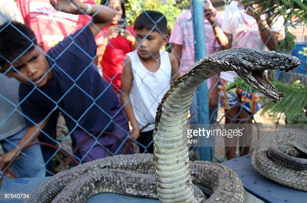 Local villagers in Bansalan town in Davao Del Sur province Southern Philippines react upon seeing a preserved king cobra on March 7 2010 Residents of...