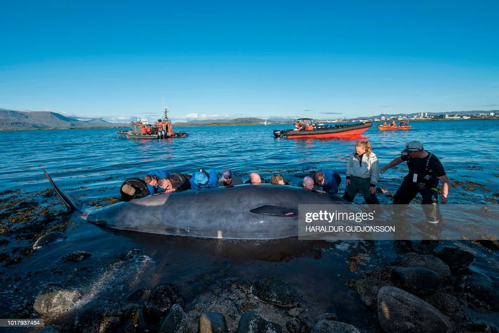 TOPSHOT-ICELAND-ANIMAL-WHALES-RESCUE : News Photo