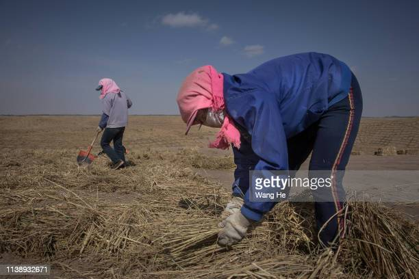 Local women pave straw before planting trees in the desert at Mingqin county on March 28th 2019 in Wuwei Gansu Province China In order to prevent...