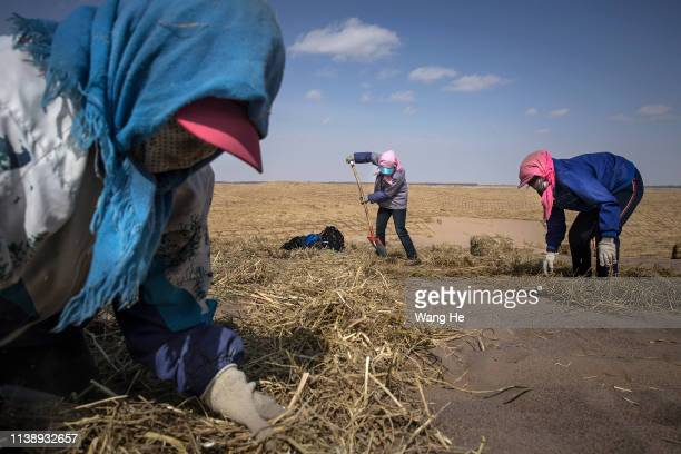 Local women Pave the straw before planting trees in the desert at Mingqin county on March 28th 2019 in Wuwei Gansu Province China In order to prevent...