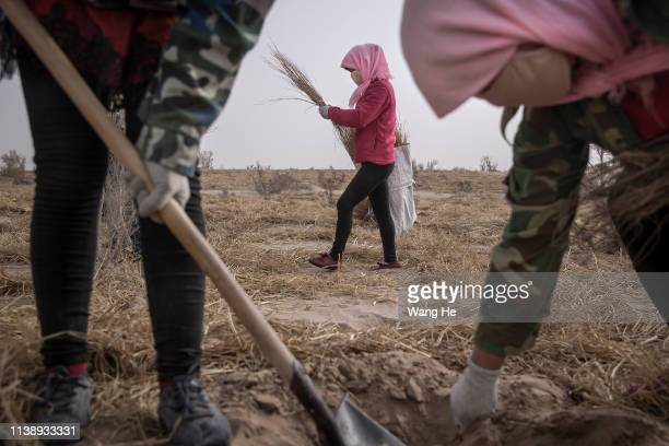 Local women plant saxaul in the desert at Mingqin county on March 27th 2019 in Wuwei Gansu Province China In order to prevent desertification from...