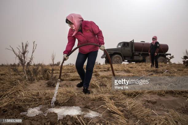 Local women water newly planted saxaul in the desert at Mingqin county on March 27th 2019 in Wuwei Gansu Province China In order to prevent...