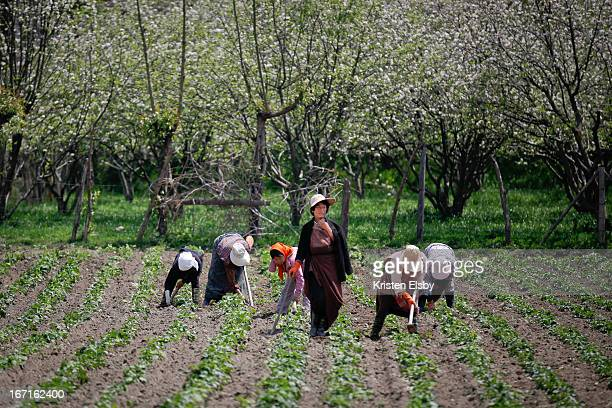 CONTENT] Local women workers hoe their farmland under blossoming apple trees in Bumthang central Bhutan
